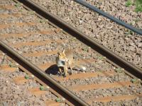 Trespasser on the line! A young fox taking a short cut at Elderslie in July 2008. <br><br>[Graham Morgan&nbsp;18/07/2008]
