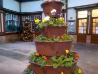 Primulas and Christmas tree in Wemyss Bay's mild microclimate on 6 January 2015.<br><br>[John Yellowlees&nbsp;06/01/2015]