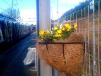 Pansies bring a hint of spring to the platform at Brunstane on 2 March 2015.<br><br>[John Yellowlees&nbsp;02/03/2015]